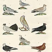 Different Kinds Of Pigeons Art Print
