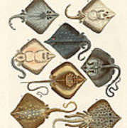 Different Kinds Of Rays Art Print