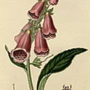 Digitalis  Print by Philip Ralley