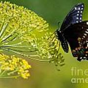 Dill And The Butterfly Art Print