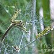 Dillweed And Caterpillars Art Print