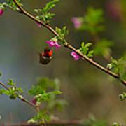 Distant Hummingbird Art Print