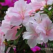 Divine Pink Azalea Art Print