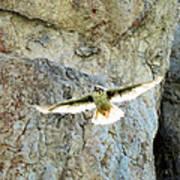 Diving Falcon Art Print