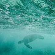 Diving Turtle Art Print