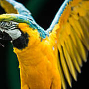Do Your Exercise Daily Blue And Yellow Macaw Art Print
