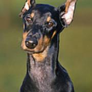 Doberman Pinscher Dog Art Print