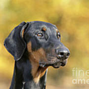 Dobermann Dog, In Autumn Art Print