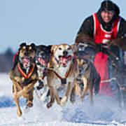 Dog Sledding Race Art Print