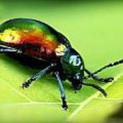 Dogbane Beetle Art Print
