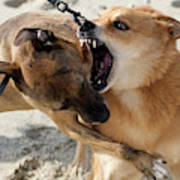 Dogs Fight On The Beach In Emerald Art Print