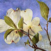 Dogwood Blossoms And Blue Sky - D007963-b Art Print