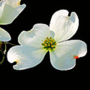 Dogwood Blossoms Painted For Jerry Art Print