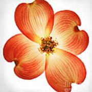 Dogwood Flower Art Print