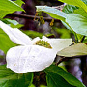 Dogwood In Yosemite Valley-2013 Art Print