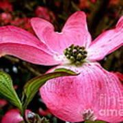 Dogwood Shows Pink Art Print