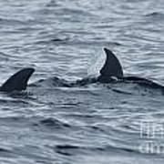 dolphins in Panama Art Print