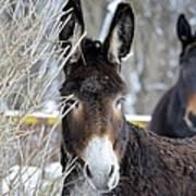 Donkey And The Mule Art Print