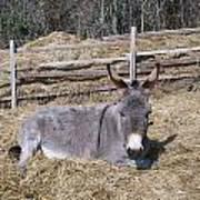 Donkey In Hay Art Print