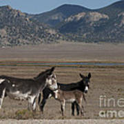 Donkeys In The Colorado Rockies Art Print