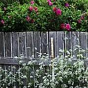 Don't Fence Me In - Wild Roses - Old Fence Art Print