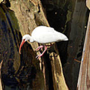 White Ibis Bird Art Print