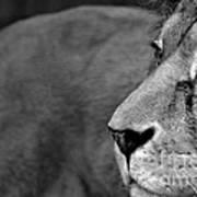 Don't Wake The Lion Art Print