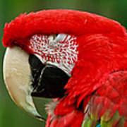 Dont You Dare To Stare Macaw Art Print