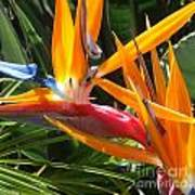 Double Bird Of Paradise - 1 Art Print