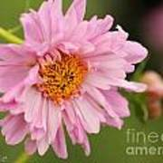 Double Click Cosmos Named Rose Bonbon Art Print