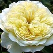 Double Cream Rose Art Print