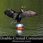 Double Crested Cormorant Art Print