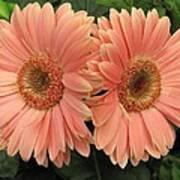 Double Delight - Coral Gerbera Daisies Art Print