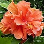 Double Peach Hibiscus Art Print
