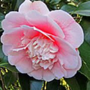 Double Pink Camilla Flower Art Print