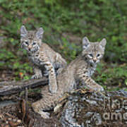 Double Trouble Print by Sandra Bronstein