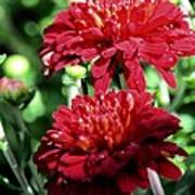 Doubled Red Mums Art Print