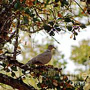 Dove In Autumn Oak Tree Lower Lake Ca Art Print