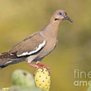 Dove On A Cactus Bud Art Print