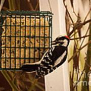 Downy Woodpecker 1 Art Print