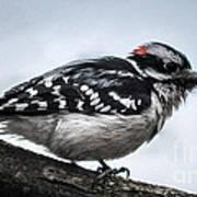 Downy Woodpecker 3 Art Print