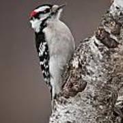 Downy Woodpecker Pictures 11 Art Print