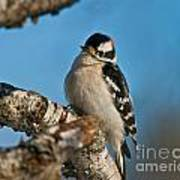 Downy Woodpecker Pictures 23 Art Print