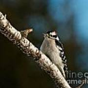Downy Woodpecker Pictures 25 Art Print