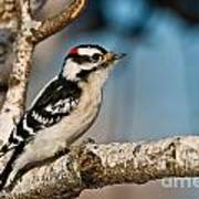 Downy Woodpecker Pictures 34 Art Print
