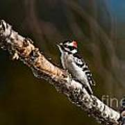 Downy Woodpecker Pictures 36 Art Print