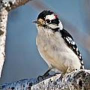 Downy Woodpecker Pictures 39 Art Print