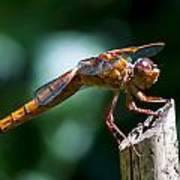 Dragonfly 4 Art Print