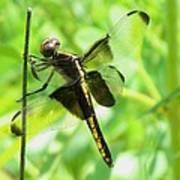 Dragonfly Female Widow Skimmer Art Print