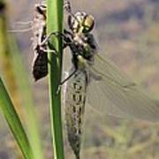 Dragonfly Newly Emerged - First In Series Art Print
